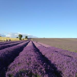 Hitchin Lavender 1