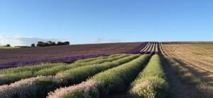 Hitchin Lavender 2