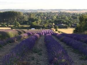 Hitchin Lavender 3